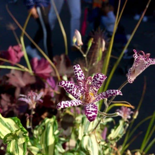 trillium_fleurs01